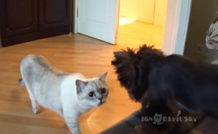 猫が部屋に入ってくると、ご主人の隣にはワンちゃんがいて修羅場に・・・!?