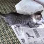 【猫あるある】 新聞を読もうとするとネコさんが登場(´・ω・`)