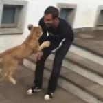 呼んだら走って飛び込んでくる、猫さんのような子ライオン