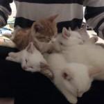 膝のうえで寝る5匹の子ネコ達