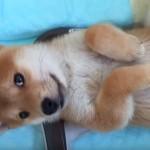 「なんだワン??」 初めてのしゃっくりに戸惑う赤ちゃんの柴犬さん