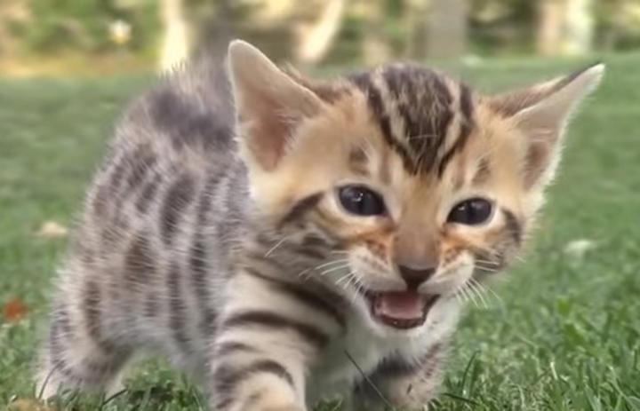 進化?怒ると口から火を噴くようになった子猫