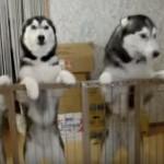 「お父さんお帰り~」出張から帰ってきたお父さんを出迎えるハスキー犬♪