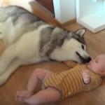 赤ちゃんとジャれるハスキー犬がカワイイ