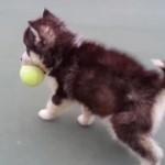 ちっちゃいハスキー犬がテニスボールをくわえて歩く