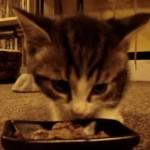 「ウミャイ~ウミャイ~」としゃべりながらご飯を食べる子猫ちゃん達(*'▽')