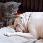 [犬猫仲良し] ブルドッグが大好きなニャンコ