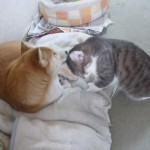 イチャイチャするネコさんと柴犬の仲良しカップル