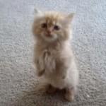 立ち上がっておやつのおねだりする子猫ちゃんにメロメロ(^◇^)