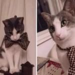 これでパーティに行くニャ♪蝶ネクタイが似合う、おしゃれキャット