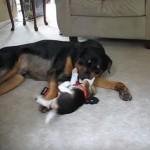 子犬と大型犬のジャレあいが、みているだけほっこり♪