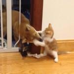 可愛いネコパンチでワンちゃんと闘う子猫さん