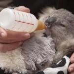 小さなコアラの赤ちゃんがとってもキュート