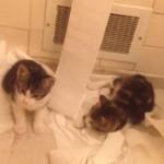 トイレットペーパーの上をすべって遊ぶ子猫達が、可愛いすぎて怒れない(´・ω・`)