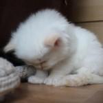 ゴメン寝をする子ネコちゃん