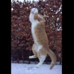 ニャンコに雪のボールを投げたらジャンピングキャッチ♪