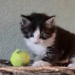 テニスボールと遊ぶ子猫が可愛すぎました。