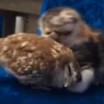 子猫と仲良しのフクロウくんに癒される♪