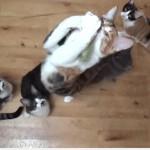 猫じゃらしをみている猫さんが垂直に大ジャンプも着地で大迷惑(^◇^)