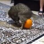 静電気でお尻に・・・風船と格闘する猫さん