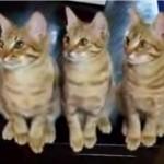 見事にシンクロする猫さん達