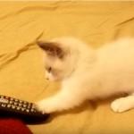 リモコンと真剣に戦うマンチカンの子猫にキュン♪