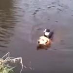 川で溺れている猫ちゃんを救助するワンちゃん