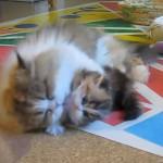ママ~~くすぐったいよぅ(´・ω・`) 子供が可愛すぎてペロペロしすぎる母猫さん♪