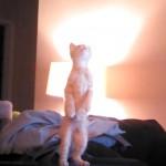 天井の何かが気になる猫さん、二本脚で立ち上がって「ニャン」が可愛すぎる