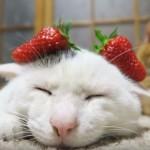 いちご耳の、のせ猫さん