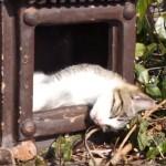 ほこらから寝顔が出ている、猫の神さま♪