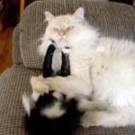 大人ネコにちょっかいを出したら、軽く押さえ込まれる子ネコちゃん