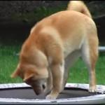 トランポリンの飛び方がわからなくて、途方に暮れる柴犬
