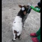 ミルク争奪バトルロワイヤルなネコとヤギさん