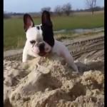 砂場が大好きで、楽しそうに穴を掘って遊ぶフレンチブルドッグ(^◇^)