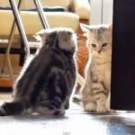 [火花バチバチ] 部屋に入ろうとする子猫と、入らせない子猫