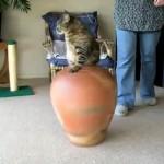 おしりがつまりながらもツボに入るネコちゃん、出る時は・・・
