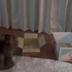 箱好きネコちゃん、大きい箱と小さい箱どっちに入るでしょうか??