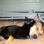 保護された黒猫さん、ワンちゃんをママだと思って安心して寝る♪