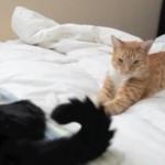 〔平和〕  シッポをフリフリさせて遊ぶ猫ちゃんとそれをツンツンする猫ちゃん
