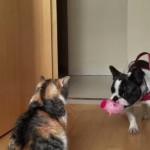 猫ちゃんと遊びたいフレンチブルドックが猛アピールするも、切ない結末を迎える