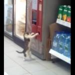 自販機の釣銭を盗もうとしている子猫さん♪