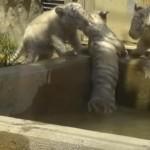 小さなホワイトタイガーが水飲み場に転落、兄弟みんなで救助する