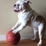 バスケットボールを上手にドリブルするブルドッグ♪