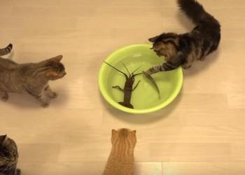伊勢海老VS10匹のネコ 興味はあるけれど、ビビりまくる猫達