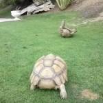 仲間がひっくり返って、身動きがとれないところを助けにいく亀さん