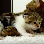 仔猫の甘えアピールに優しく対応する母猫にほっこり