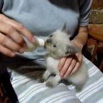 哺乳瓶でミルクを飲むヒマラヤンの子ネコ