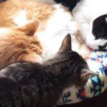 ベッドの中に寝ている猫ちゃんが二匹、そこに無理やり体をねじ込んで入る猫さん