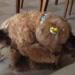 たくさんのネコさんたちと育ったトイプードル、しぐさが完全にネコ